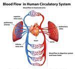 Acidsaminoarteriesbackgroundbloodbodycapillariescardiovascular