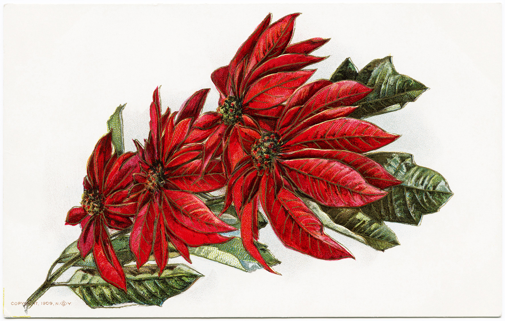 Poinsettia Image December Birthday Free Vintage Christmas Clipart