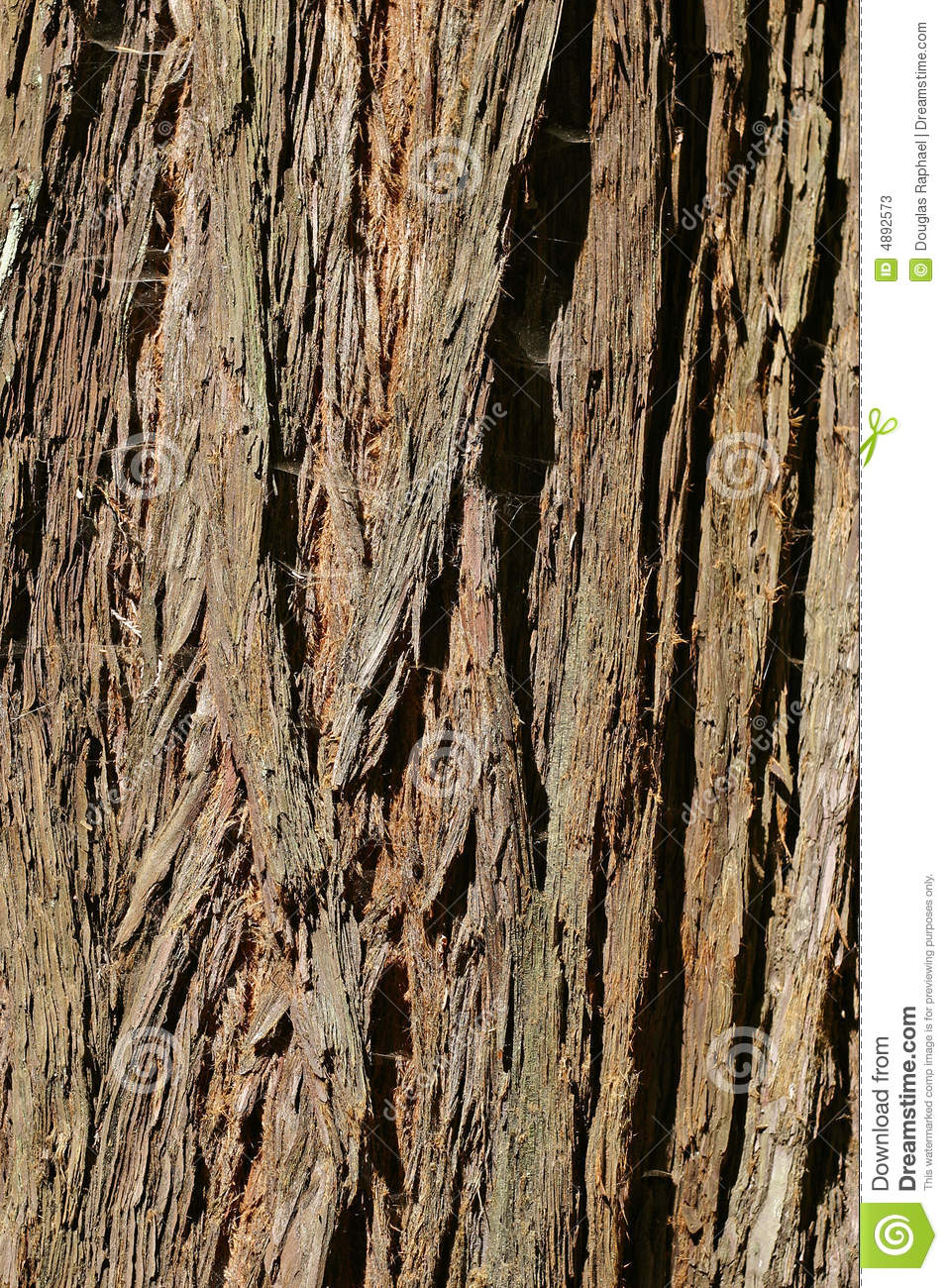 Coast Redwood Tree Bark From Muir Woods Sequoia Sempervirens
