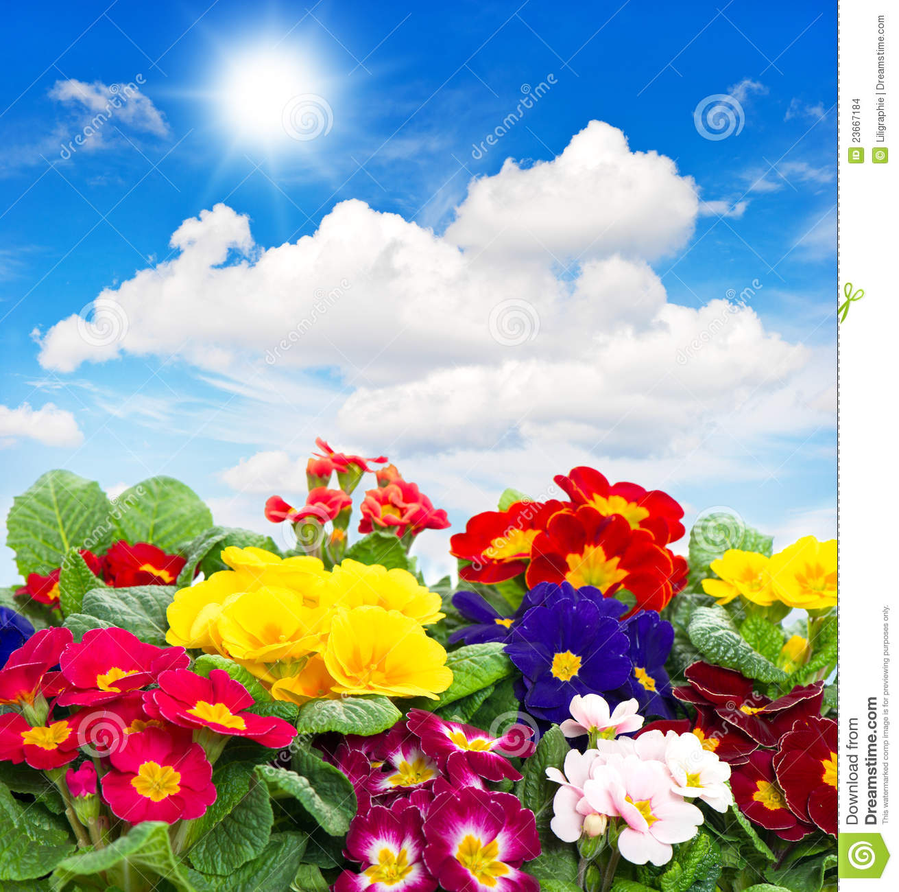Primula Flowers On Blue Sky Background Stock Images   Image  23667184