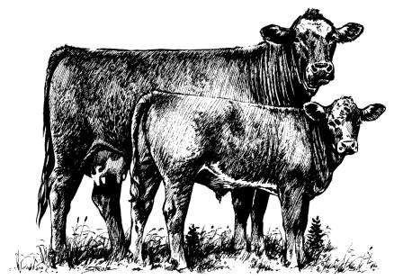 Heifer Cow Clipart Central Livestock South