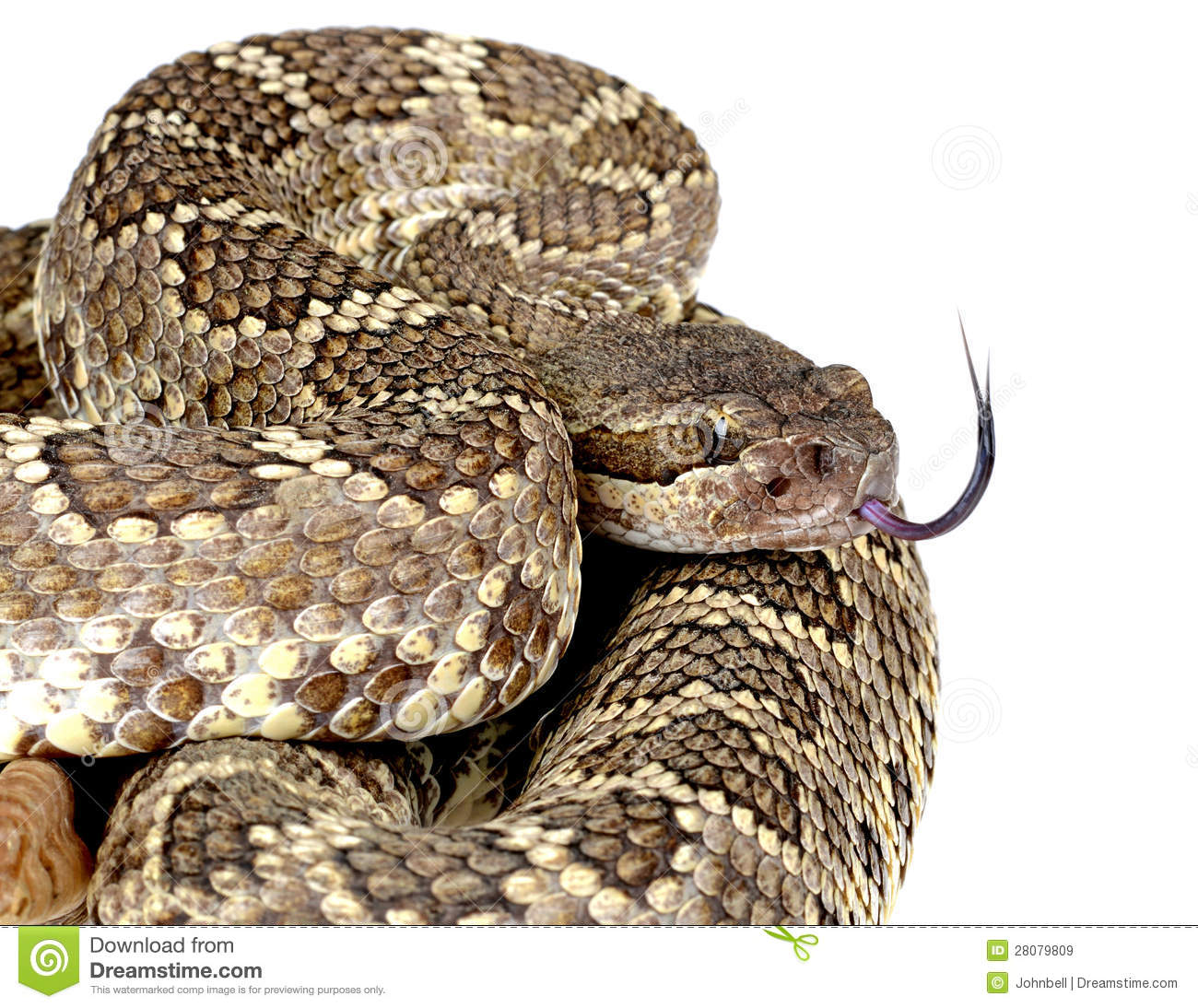 Rattlesnake Clipart Free Southern Pacific Rattlesnake