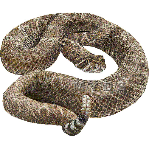 Rattlesnake Clipart Picture   Large