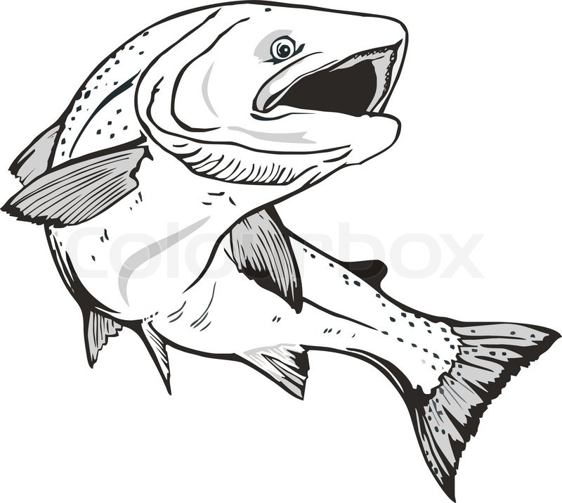 Stock Vector Of  King Salmon Fish  Hand Drawn