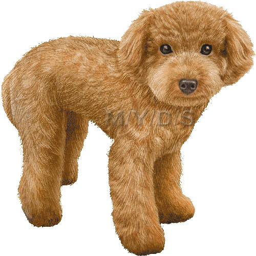 Toy Poodle Clipart Picture   Large