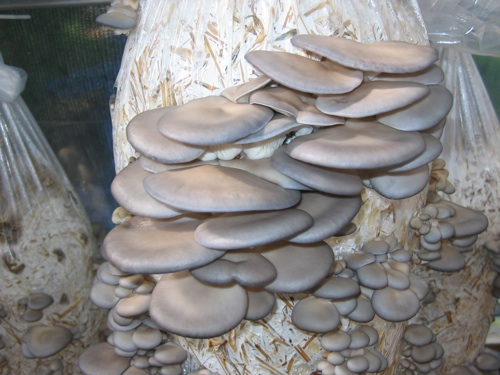 Blue Oyster Mushroom Recipe Blue Oyster Mushrooms Emerging