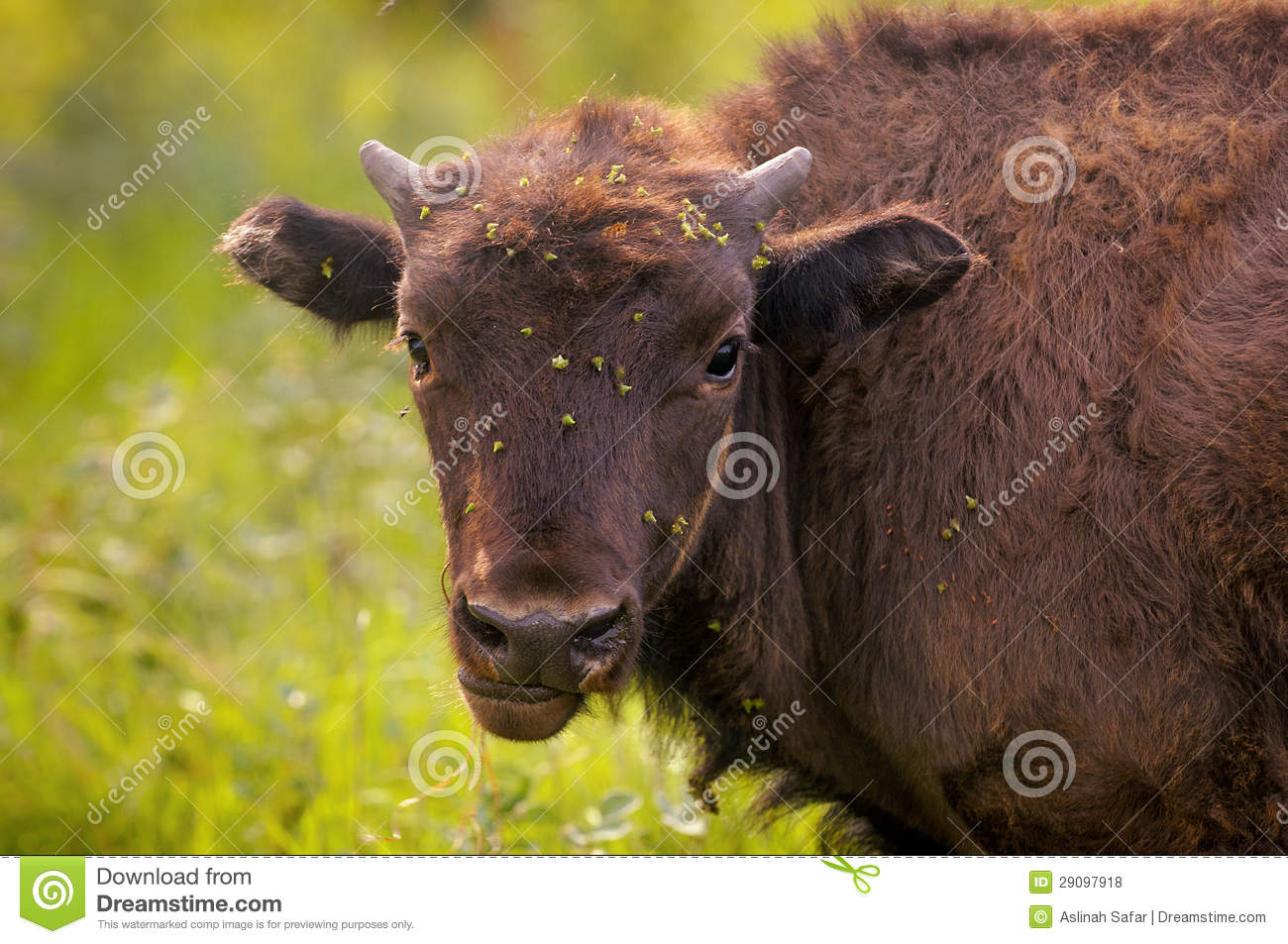 Baby Bison Royalty Free Stock Photos   Image  29097918