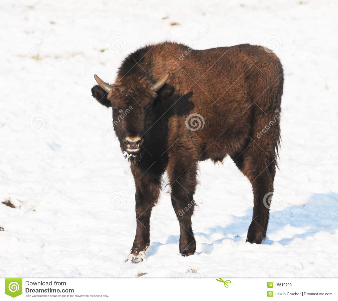 Baby Bison Standing In Snow Royalty Free Stock Photos   Image