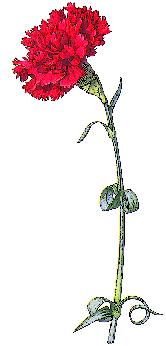 Carnation Clipart   5 Images