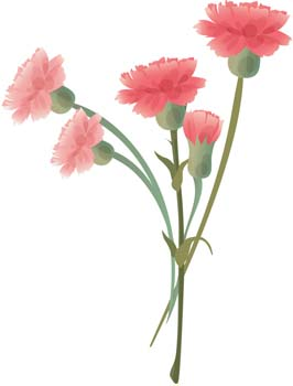 Images Of Carnation   Clipart Best
