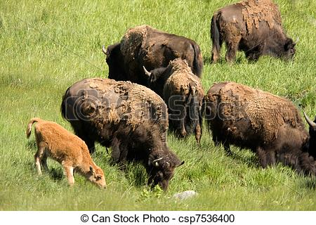 Stock Photo   American Bison  Bison Bison  Grazing With Baby Calf In