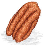 Pecan Nut   Closeup Illustration Of Pecan Nut Isolated In