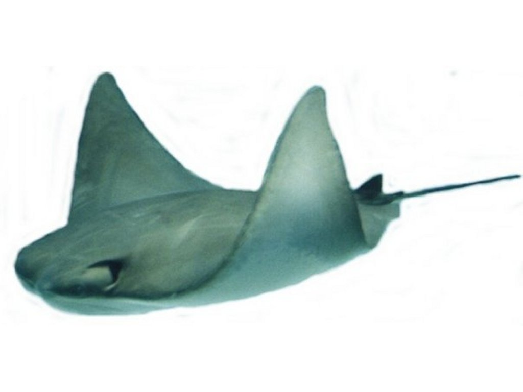 Free Sea Sting Ray Clipart Pictures