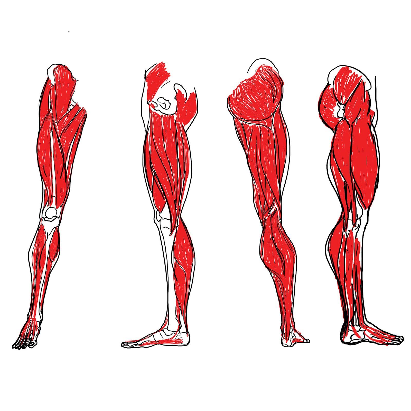 Leg Muscle Clipart - Clipart Kid