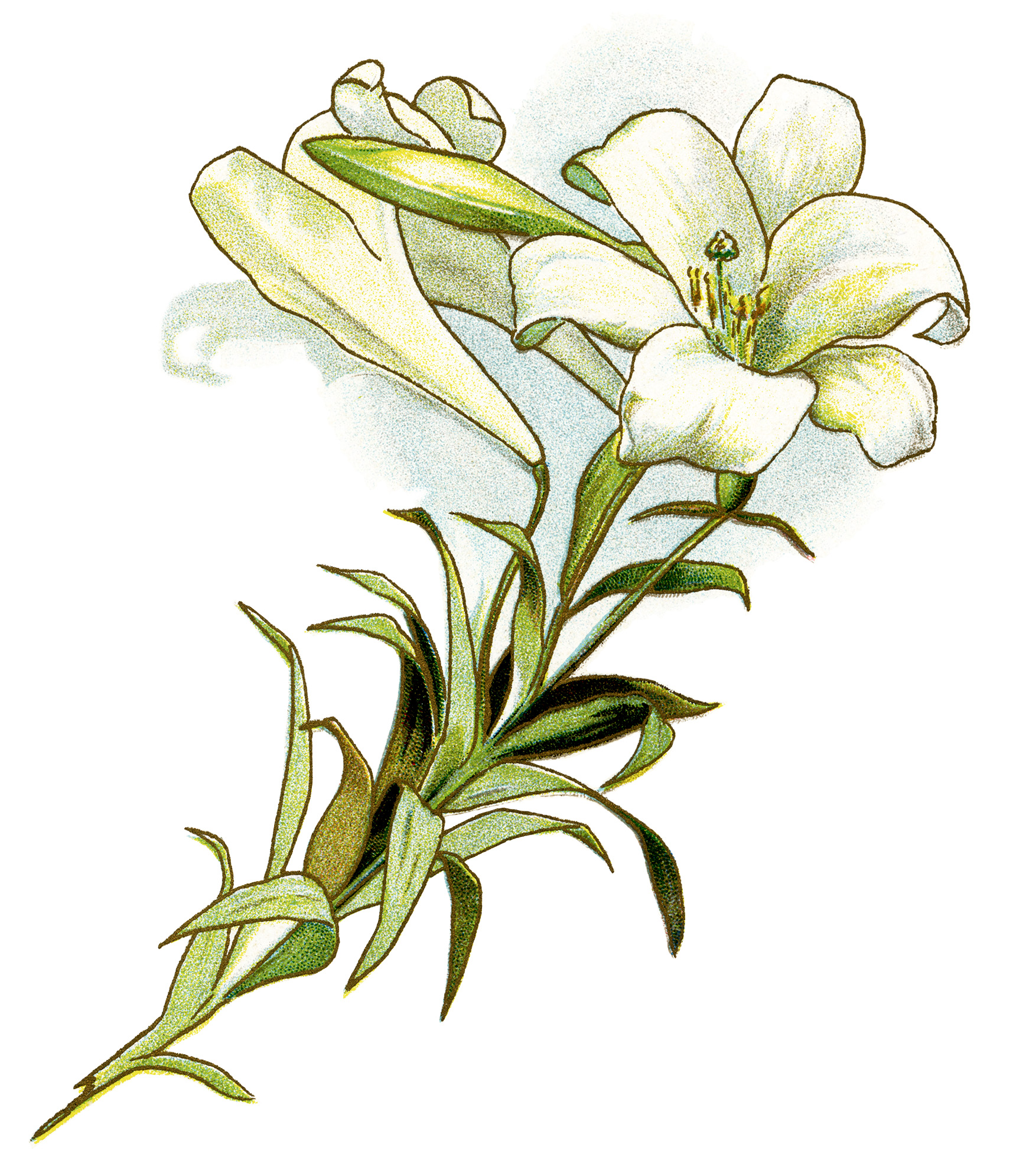 This Beautiful Vintage Image Of A White Lily Is From A Book Of Poetry