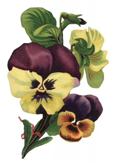Antique Images Free Flower Clip Art Pansy Die Cut From Pictures
