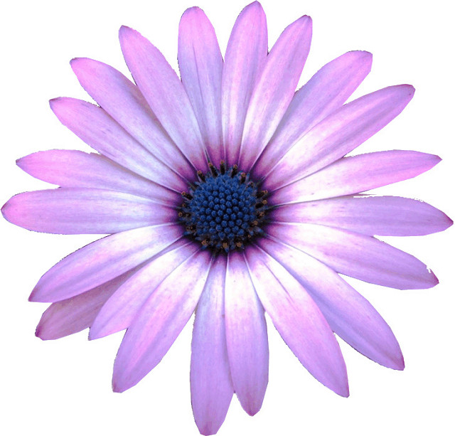 Purple Daisy Flower Clipart 10cm   Flickr   Photo Sharing