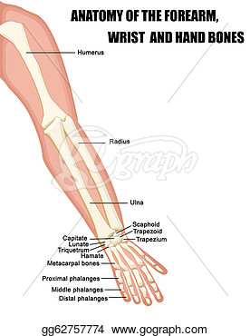 Of The Forearm Wrist And Hand Bones  Clipart Drawing Gg62757774
