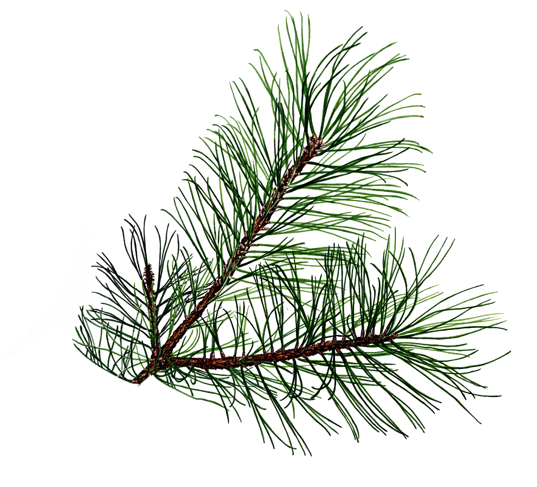 Pine Branch   Free Images At Clker Com   Vector Clip Art Online
