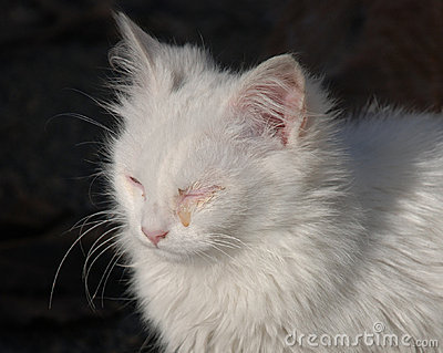 Young White Kitten With A Seeping Eye As A Result Of An Infection