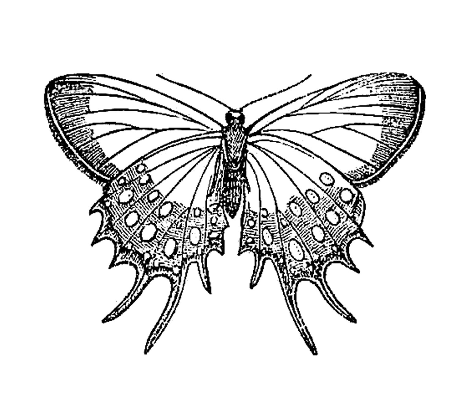 Vintage Insect Clip Art  Butterfly Graphic Design From Natural History