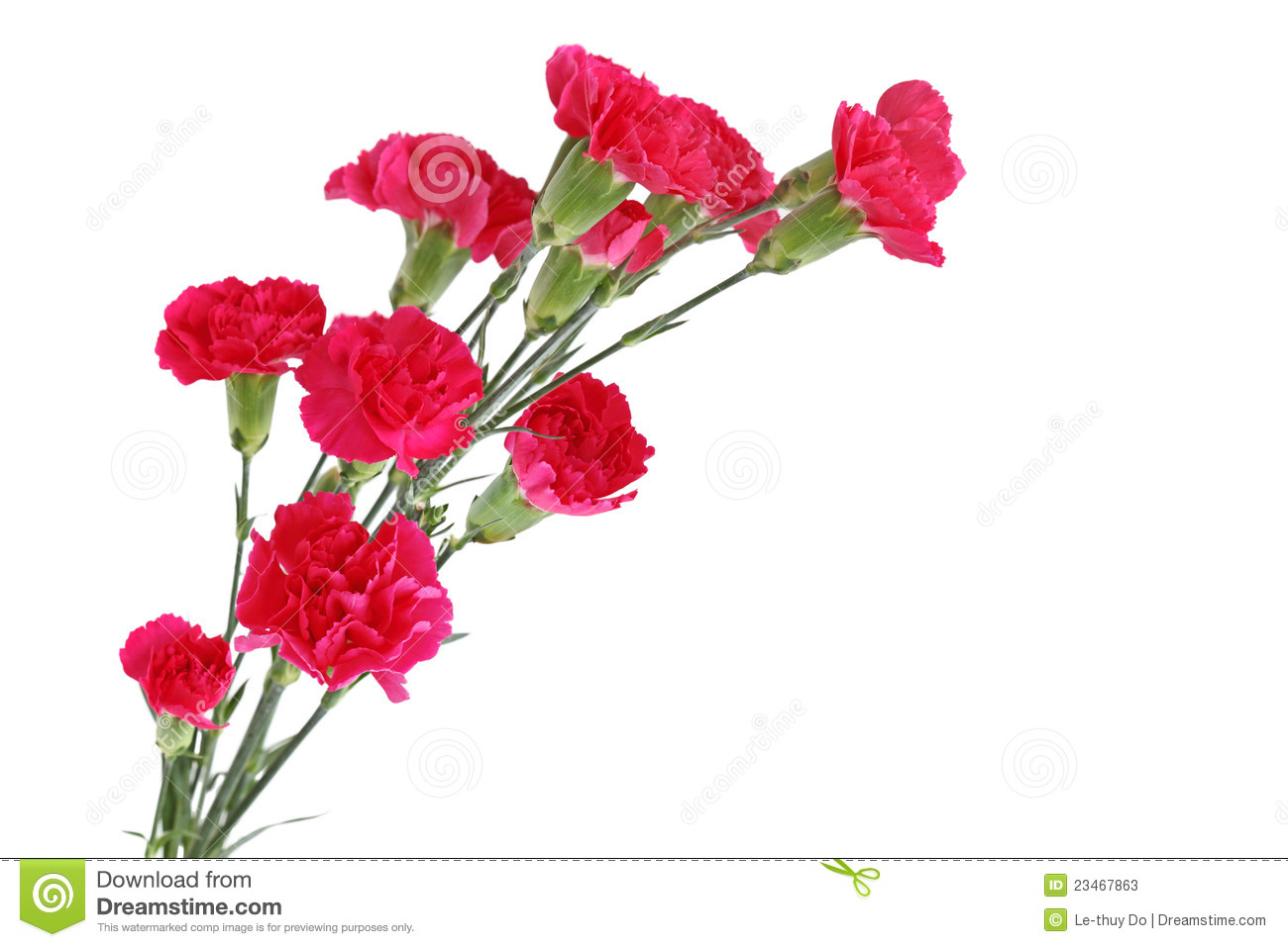 Red Carnation Dianthus Caryophyllus Flowers Isolated On White