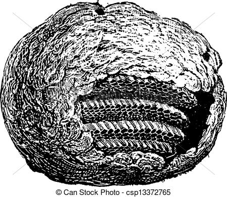 Vintage Engraving   Wasp Nest Partial    Csp13372765   Search Clipart