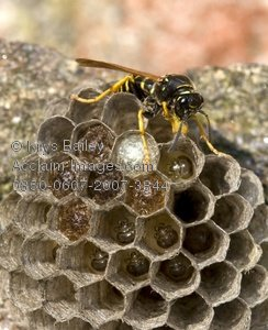 Wasp Nest Photos Stock Photos Images Pictures Wasp Nest Clipart