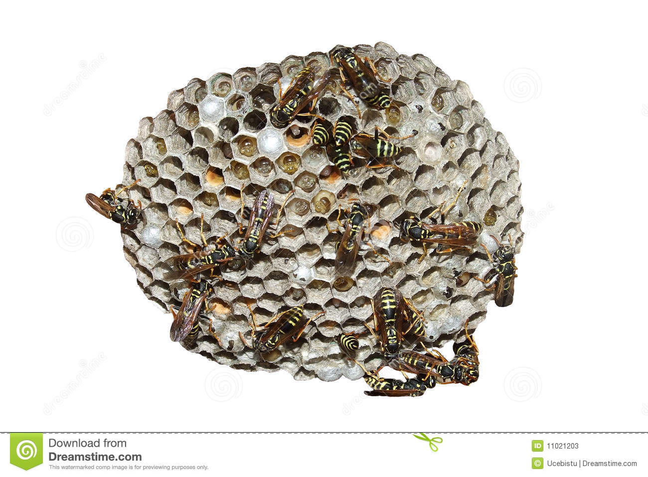 Wasp Nest Stock Photos   Image  11021203