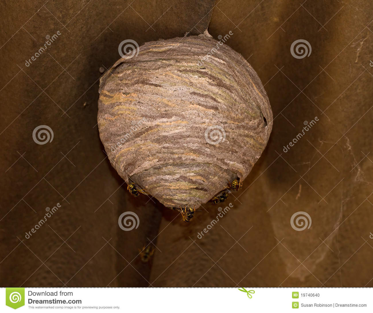 Wasp Nest Under Construction With Wasps Adding Chewed Saliva Soaked