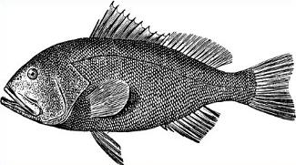 Free Clipart Public Domain Clipart Free Pictures And More Grouper