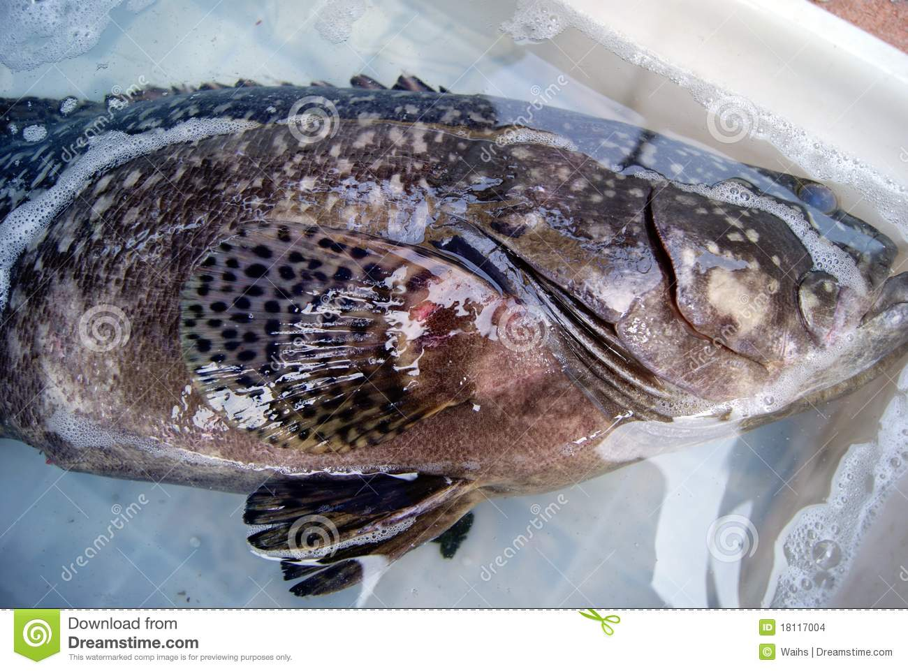 Fresh Grouper A Large Mounted In The Basin Waiting For Sale