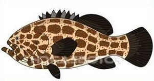 Grouper Fish Marine Life Did You Know There Are Many Types Of Grouper