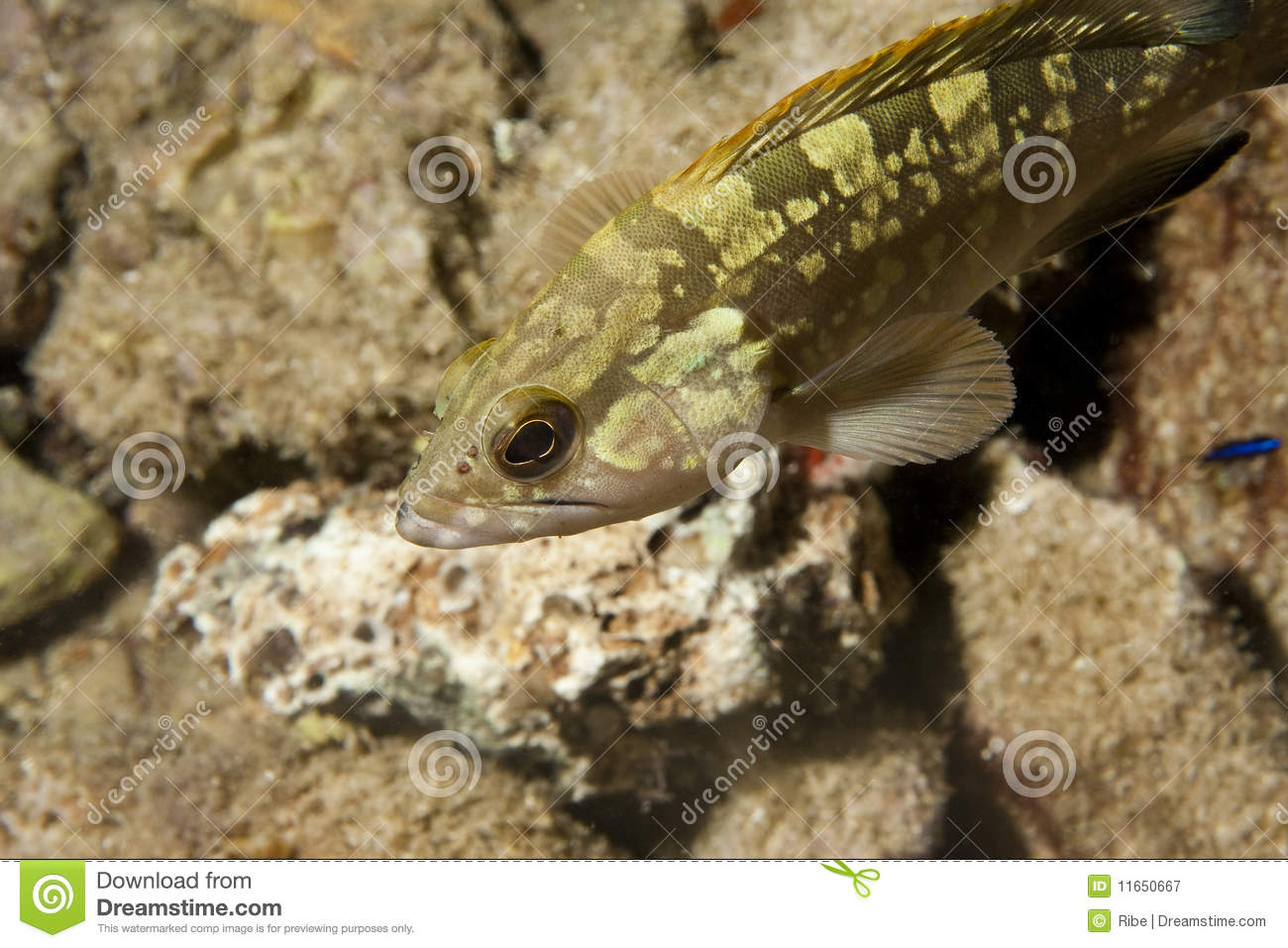 Grouper Fish Royalty Free Stock Photography   Image  11650667