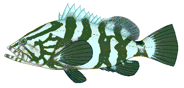 Share Nassau Grouper Epinephelus Striatus Clipart With You Friends