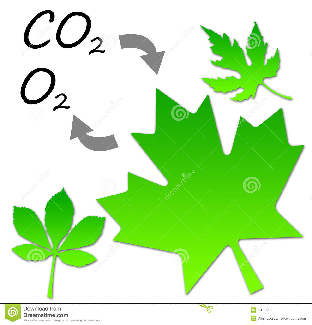 Forming Oxygen And Absorbing Carbon Dioxide Through Photosynthesis