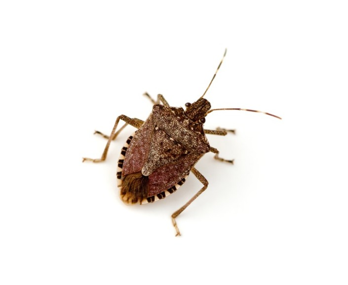Just Saw Another Stink Bug