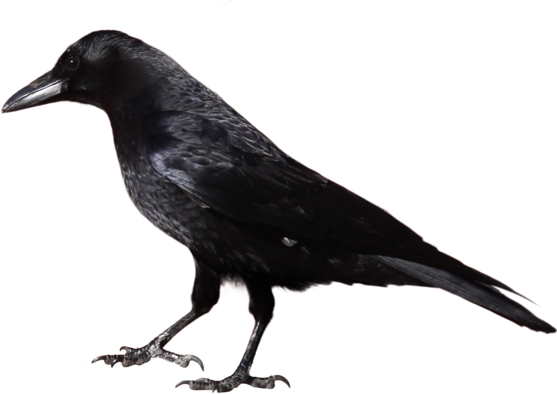 Crow Clipart - Clipart Kid
