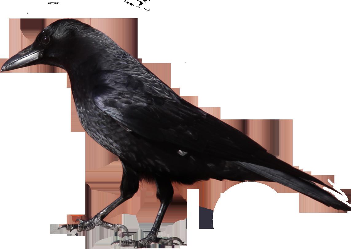 Crow Clipart 29514   Studiobin