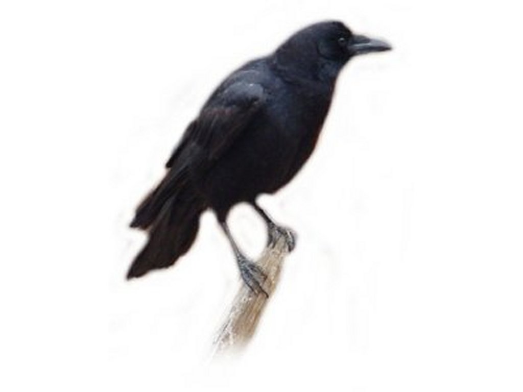 Free Crow Clipart Pictures