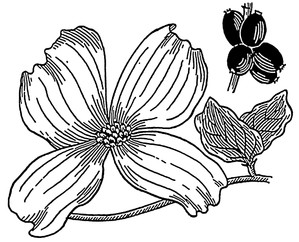 Back   Gallery For   Dogwood Tree Clip Art