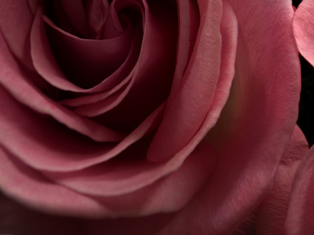 Burgundy Rose Wallpaper