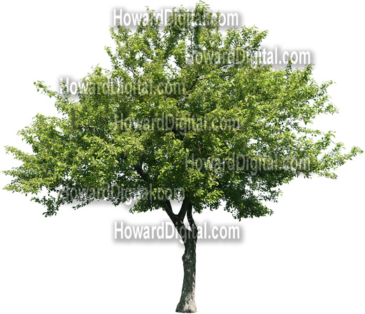 Dogwood Tree Clipart