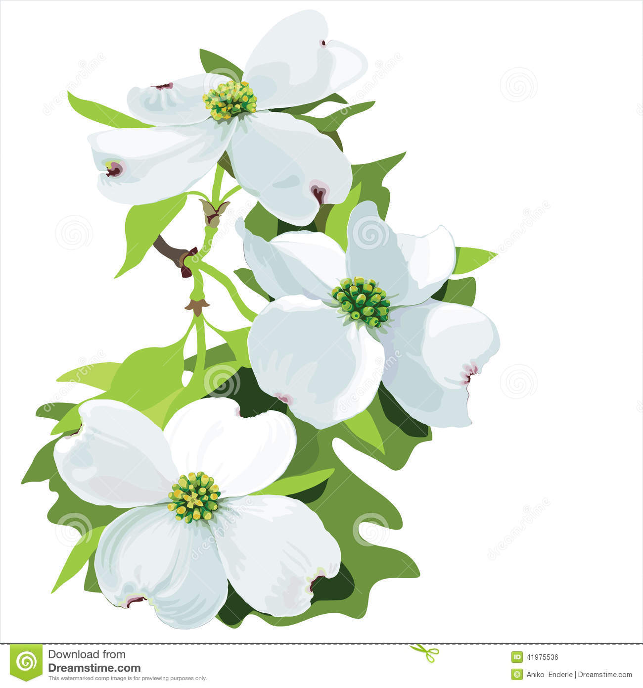 Hand Drawn Vector Illustration Of Dogwood Blossom In Realistic Style