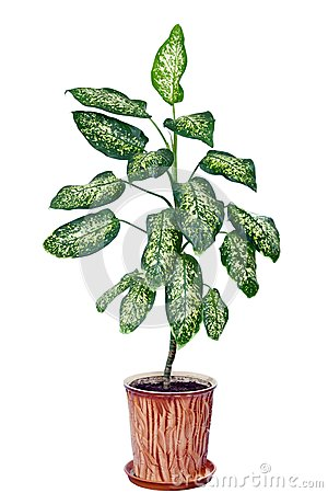 Dieffenbachia In Flowerpot Isolated On White Stock Image   Image