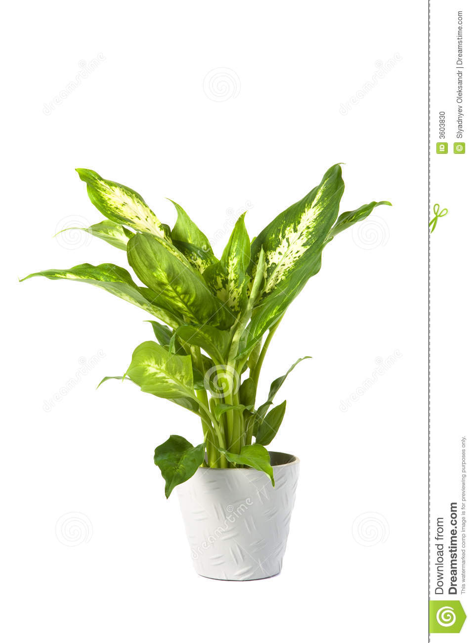 Dieffenbachia Overig Compacta Stock Photo   Image  3603830