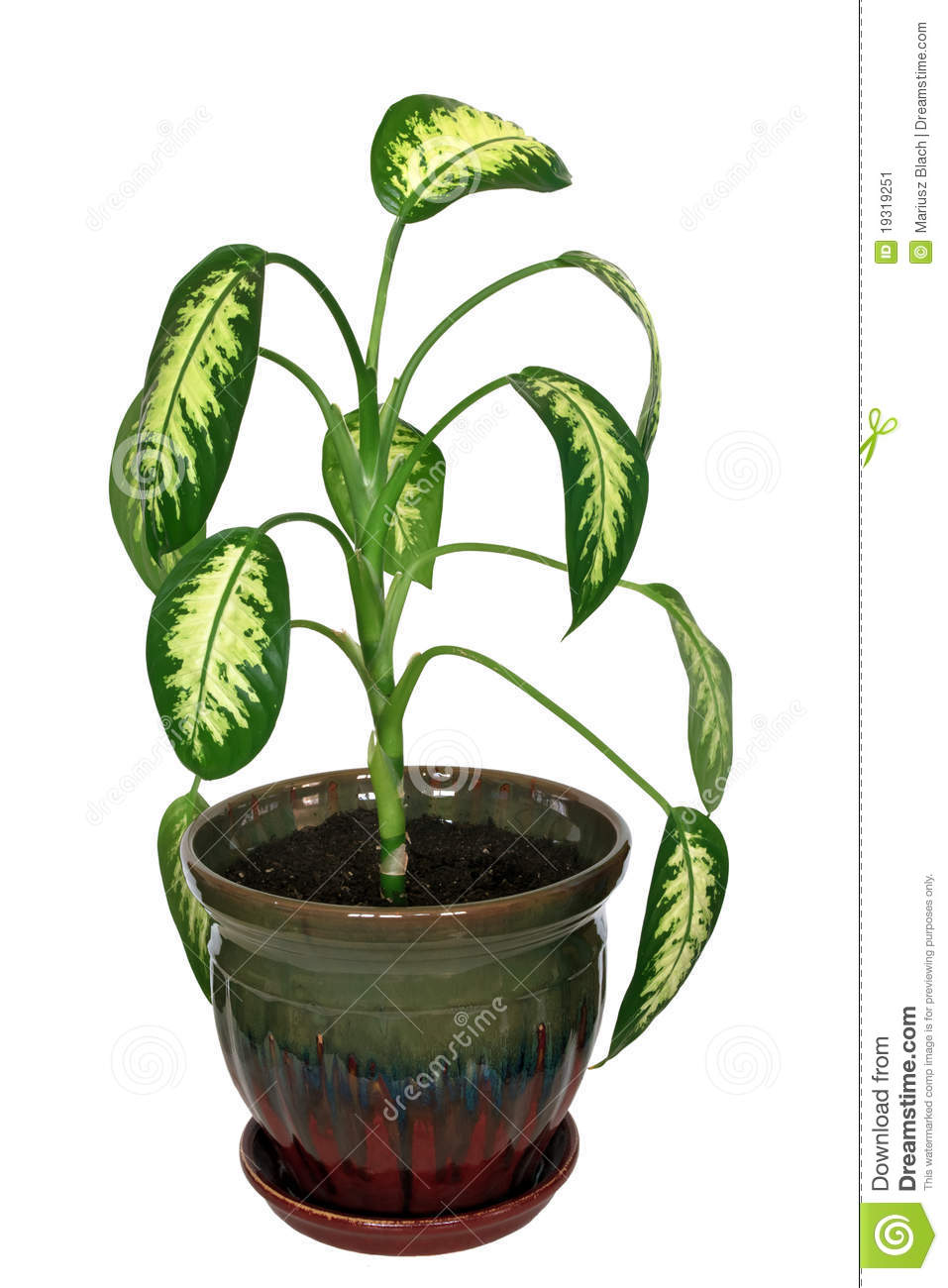 Dieffenbachia Plant In A Pot Isolated Over White Background  Picture