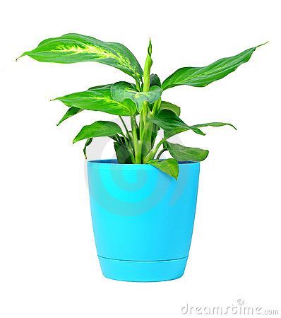 Dieffenbachia Plant In Pot Royalty Free Stock Photography   Image