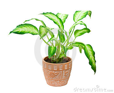 Dieffenbachia Royalty Free Stock Photos   Image  4598828