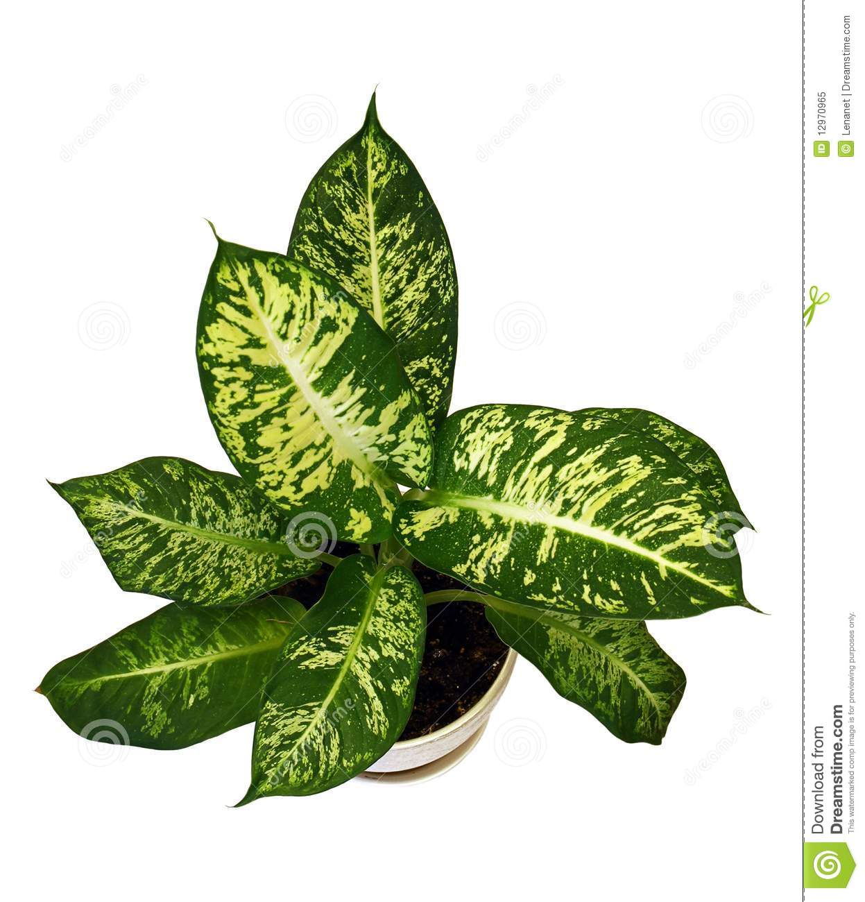Dieffenbachie Lat  Dieffenbachia Green Plant In Flower Pot Isolated